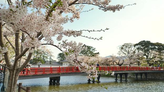 TON04334小田原城址公園の桜