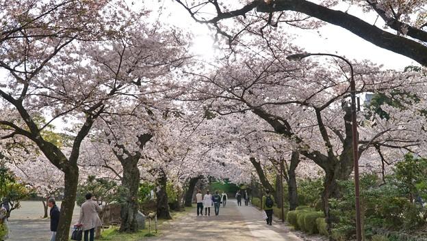 TON04342小田原城址公園の桜