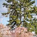 TON04350小田原城址公園の桜