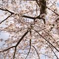 TON04353小田原城址公園の桜