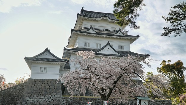 TON04361小田原城址公園の桜