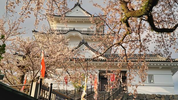 TON04371小田原城址公園の桜