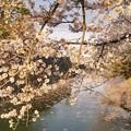 TON04389小田原城址公園の桜