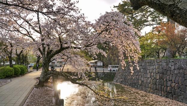 Photos: TON04392小田原城址公園の桜
