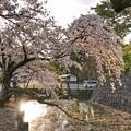 TON04392小田原城址公園の桜