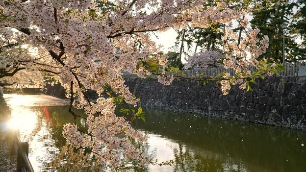 TON04397小田原城址公園の桜