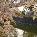 Photos: TON04397小田原城址公園の桜