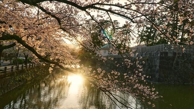 Photos: TON04401小田原城址公園の桜