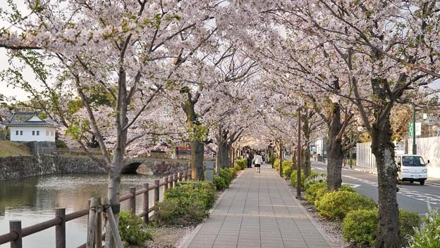 Photos: TON04405小田原城址公園の桜