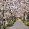TON04405小田原城址公園の桜