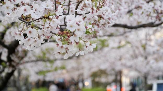 TON04412小田原城址公園の桜