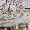 Photos: TON04412小田原城址公園の桜