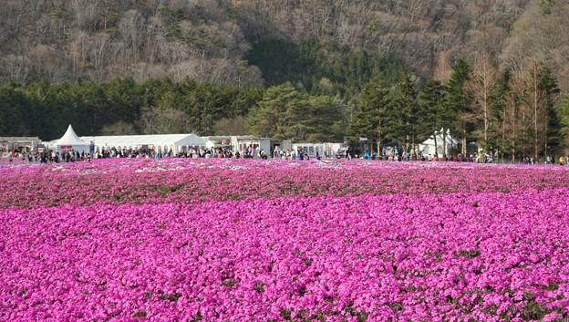 TON04611富士芝桜まつり