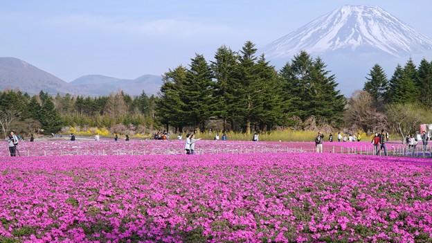 TON04621富士芝桜まつり