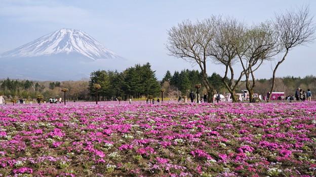 TON04636富士芝桜まつり