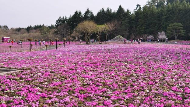TON04653富士芝桜まつり