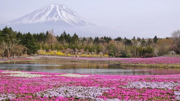 TON04665富士芝桜まつり