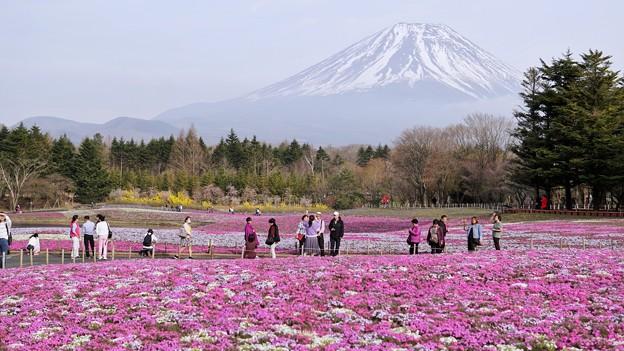 TON04670富士芝桜まつり