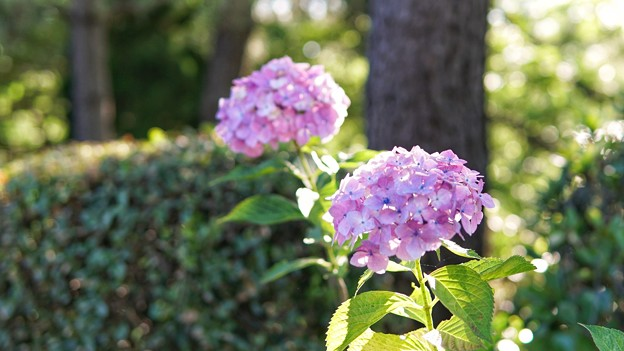 TON05322八景紫陽花