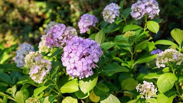 TON05331八景紫陽花