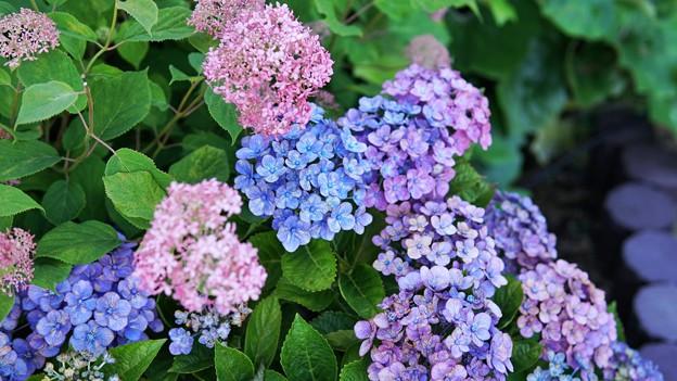 八景紫陽花