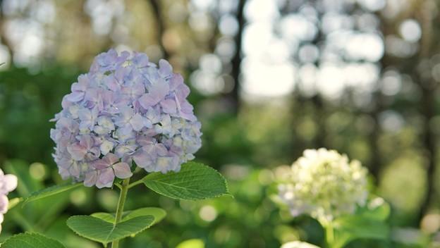TON05368八景紫陽花