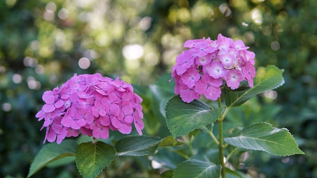 TON05375八景紫陽花
