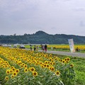 Photos: TON05976益子ひまわりまつり2019