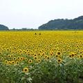 Photos: TON05998益子ひまわりまつり2019
