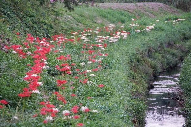 TON06711小出川の彼岸花