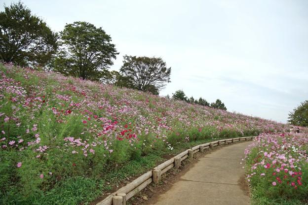 TON07120秋桜の丘 昭和記念公園