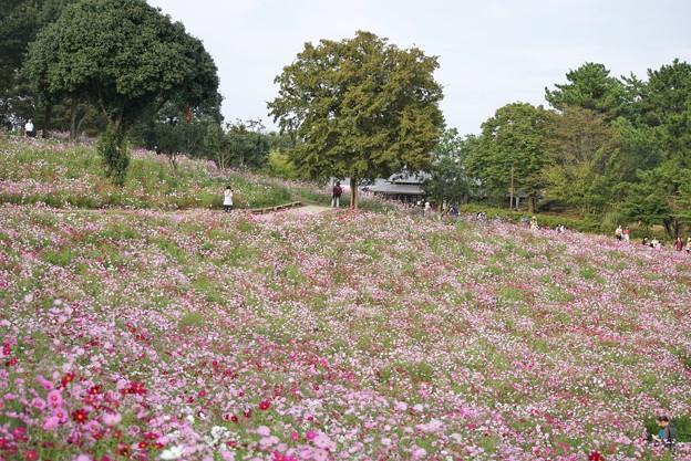 TON07123秋桜の丘 昭和記念公園