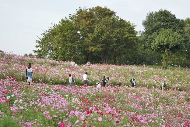 TON07124秋桜の丘 昭和記念公園