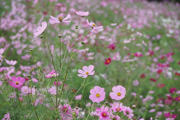 TON0724秋桜の丘 昭和記念公園