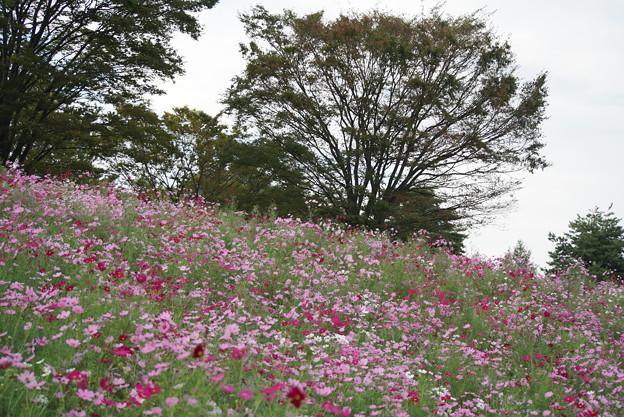 TON0713秋桜の丘 昭和記念公園