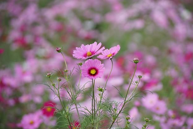 TON07134秋桜の丘 昭和記念公園
