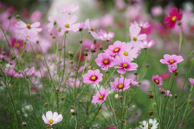 TON07140秋桜の丘 昭和記念公園