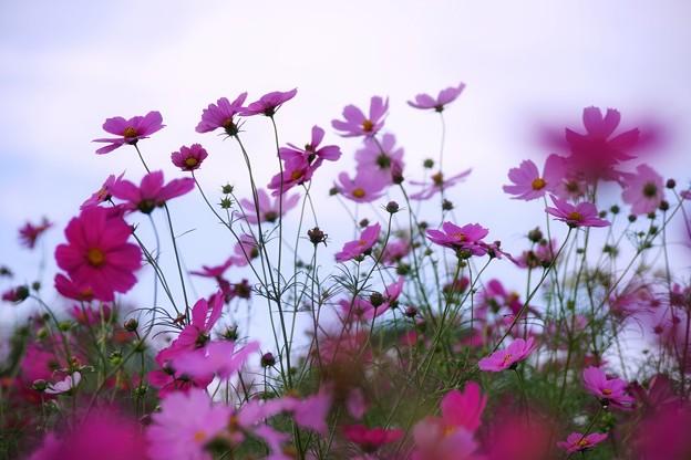 TON07150秋桜の丘 昭和記念公園