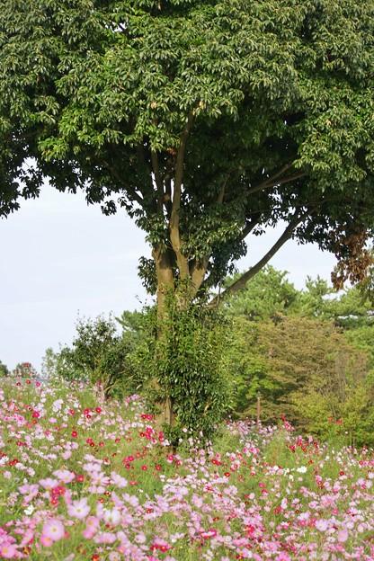 TON07154秋桜の丘 昭和記念公園