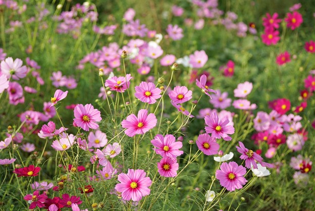 TON07158秋桜の丘 昭和記念公園