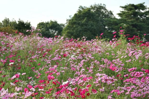 TON07160秋桜の丘 昭和記念公園
