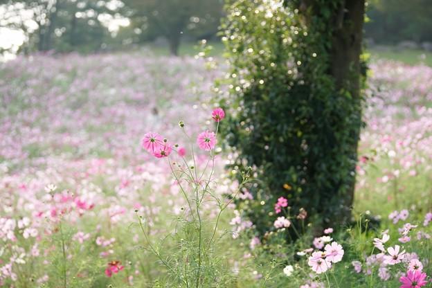 TON07166秋桜の丘 昭和記念公園