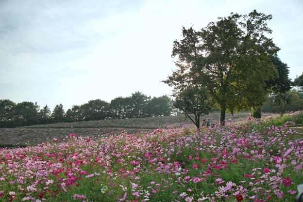 TON07184秋桜の丘 昭和記念公園