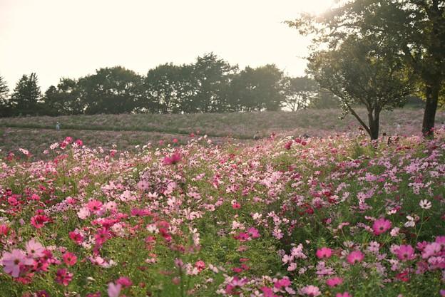 TON07188秋桜の丘 昭和記念公園
