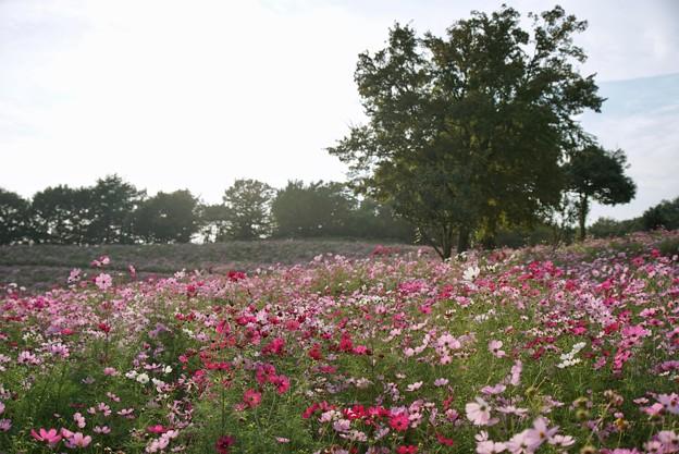 TON07191秋桜の丘 昭和記念公園