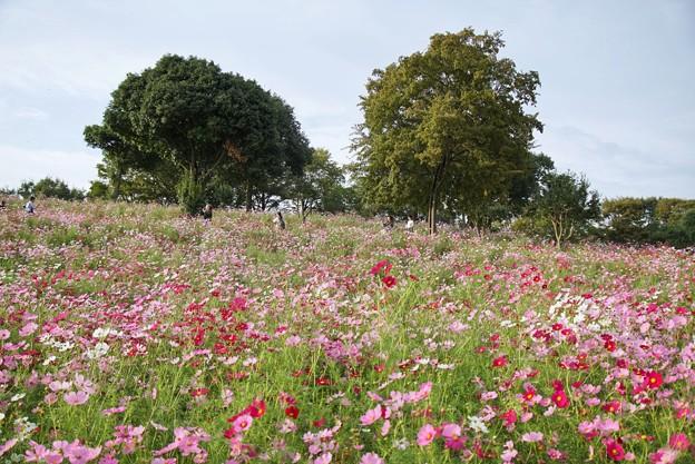 TON07195秋桜の丘 昭和記念公園