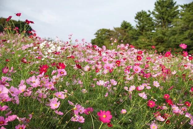 TON07196秋桜の丘 昭和記念公園