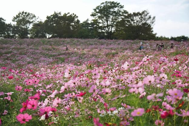 TON07197秋桜の丘 昭和記念公園