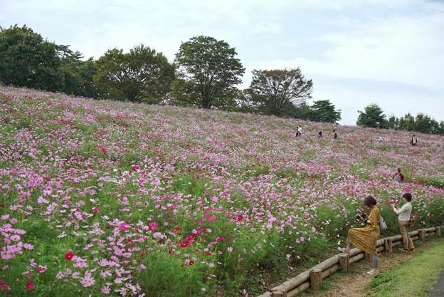 TON07201秋桜の丘 昭和記念公園