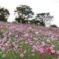 Photos: TON07238秋桜の丘 昭和記念公園